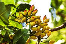 Pistacchio cultivation weki