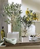 Plant Olive Tree 3